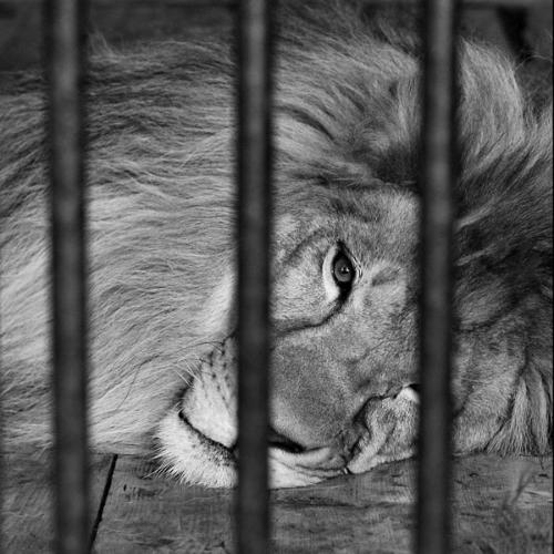 Lion-inside-cage